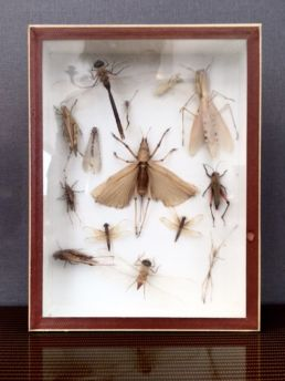 Collection d'insectes, XXe siècle.